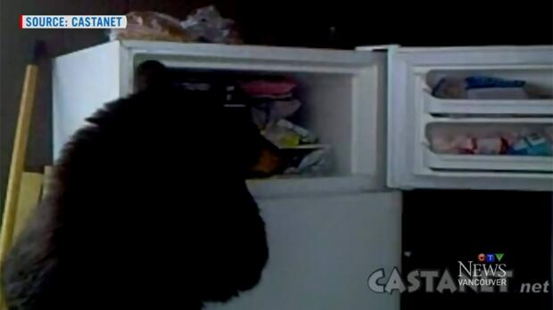 Hungry bear 'shops' in outdoor fridge in B.C.