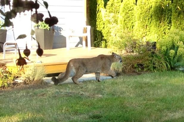 cougar-at-large-in-langford-b-c