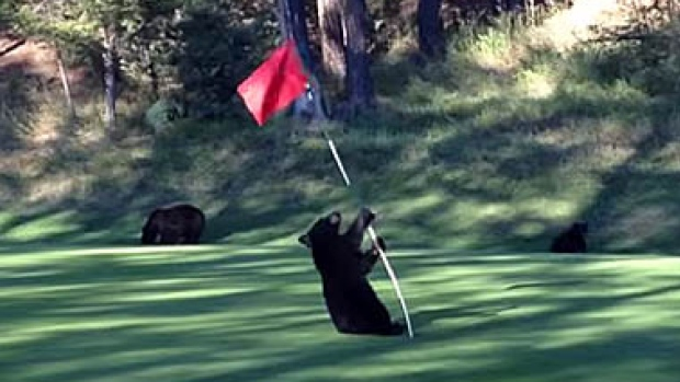 baby-bear-fairmont-hot-springs-golf-course
