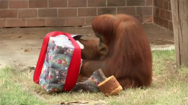 Brazilian zoo animals receive Christmas treats