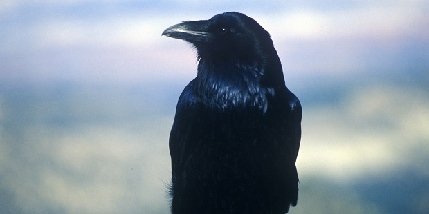 Jet the talking crow