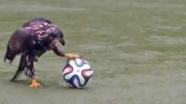 Bald eagle filmed kicking soccer ball in North Vancouver
