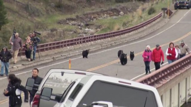 Bears Chase Tourists