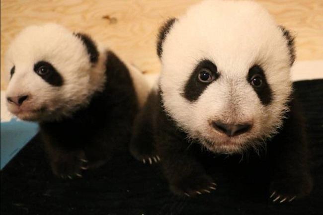 pandacubs