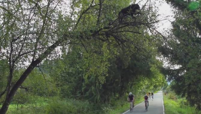 black-bear-hangs-out-in-tree-above-coquitlam-cycling-race