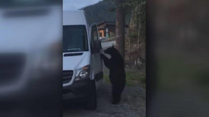 Bear casually opens door of parked van in Whistler