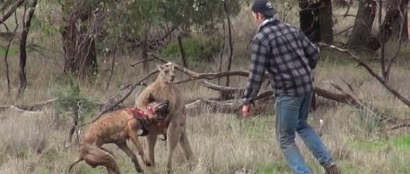 رویارویی شکارچی با کانگورو برای نجات سگش(فیلم)