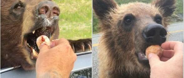 جریمه 2 هزار دلاری مرد بریتیش کلمبیایی که به خرسها دونات و هات داگ داد