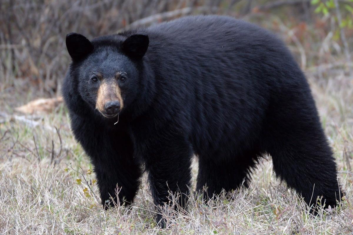 حمله خرس سیاه به دختر 10 ساله در مسیر جنگلی نورث ونکوور